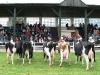 starsi-kravy1