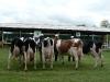 starsi-kravy2