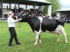 starsi-kravy3
