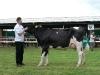 starsi-kravy7